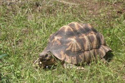 Adult Female Geochelone platynota (Burmese Star Tortoise)