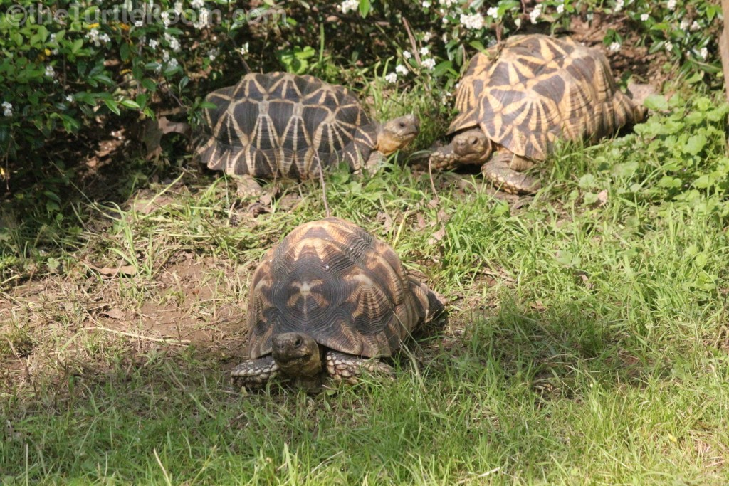 Adult Geochelone platynota (Burmese Star Tortoise) Group