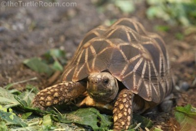 Juvenile Geochelone platynota (Burmese Star Tortoise)
