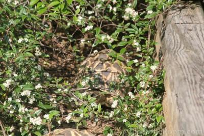 Adult Male Geochelone platynota (Burmese Star Tortoise)