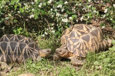 Adult Geochelone platynota (Burmese Star Tortoise) Pair
