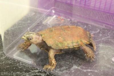 Adult Male Geoemyda spengleri (Vietnamese Black-Breasted Leaf Turtle) - Tennessee Aquarium
