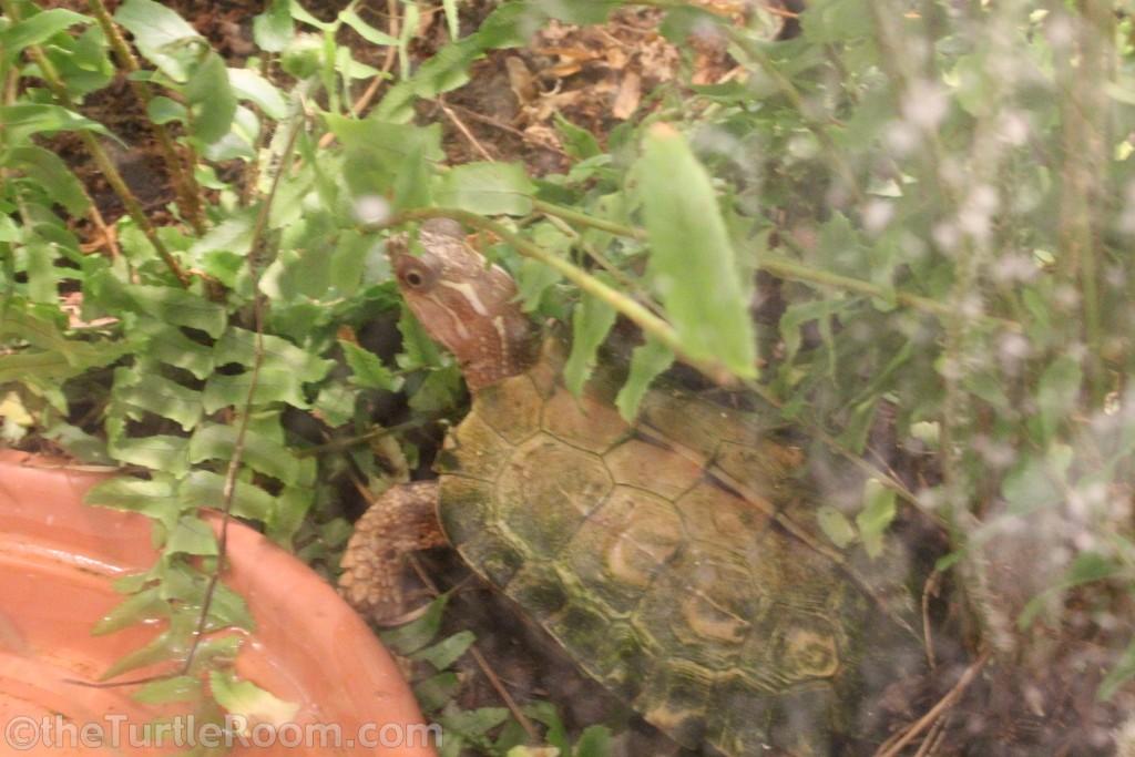 Adult Geoemyda spengleri (Vietnamese Black-Breasted Leaf Turtle) - Tennessee Aquarium