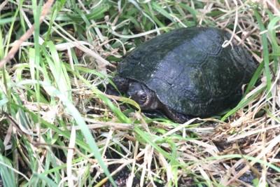 Adult Glyptemys muhlenbergii (Bog Turtle)