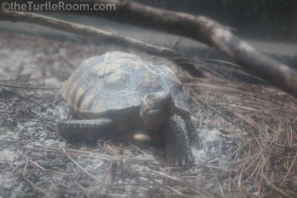 Juvenile Gopherus polyphemus (Gopher Tortoise)