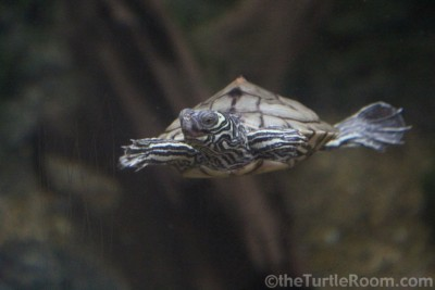 Adult Male Graptemys barbouri (Barbour's Map Turtle) - Tennessee Aquarium