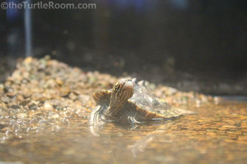 Yearling Graptemys flavimaculata (Yellow-Blotched Map Turtle) - Tennessee Aquarium
