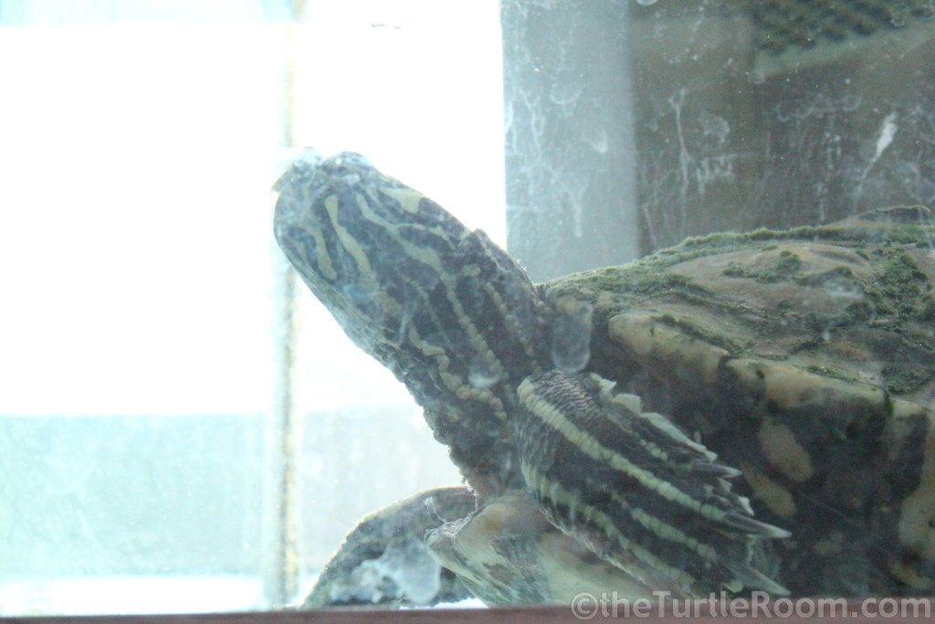 Adult Female Graptemys flavimaculata (Yellow-Blotched Map Turtle) - Tennessee Aquarium