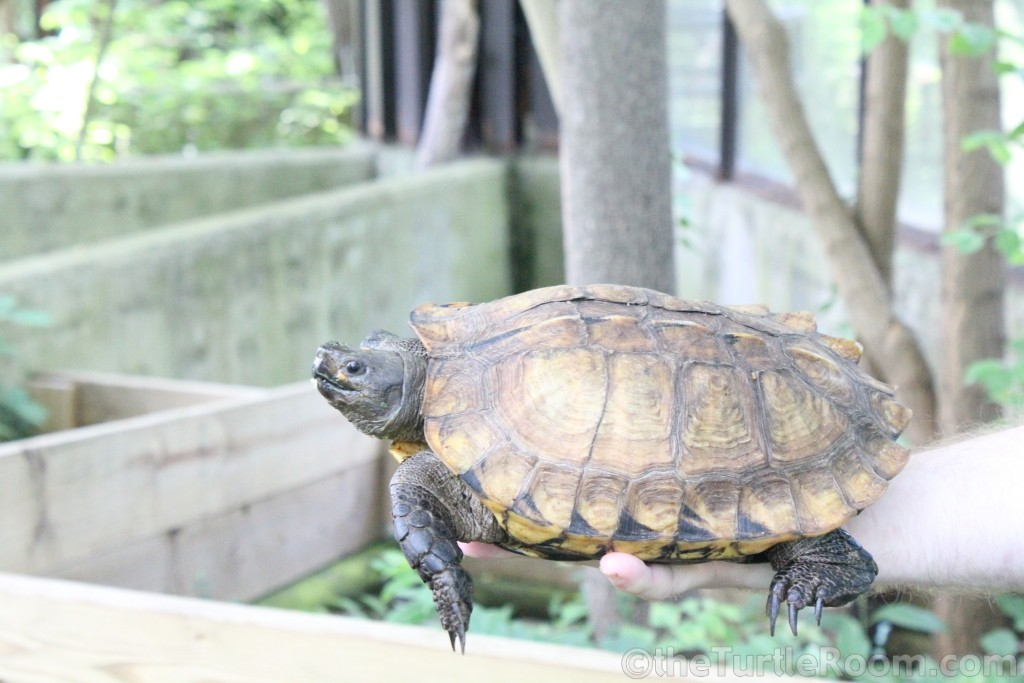 Adult Heosemys depressa (Arakan Forest Turtle)