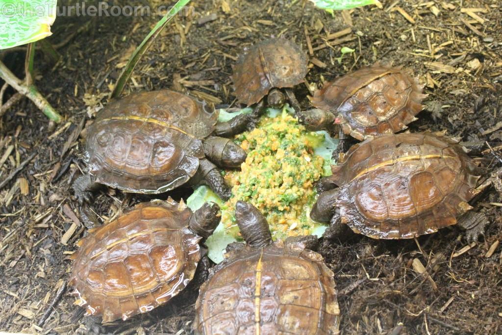 Juvenile Heosemys spinosa (Spiny Turtle)
