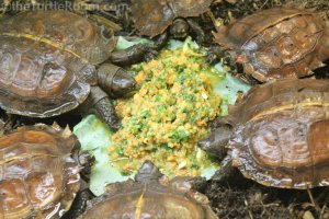 Juvenile Heosemys spinosa (Spiny Turtles) - Knoxville Zoo