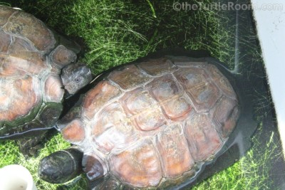 Heosemys spinosa (Spiny Turtle)
