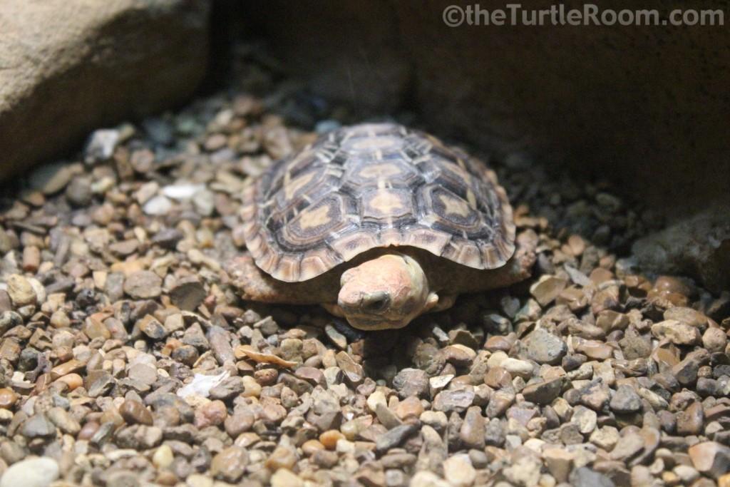 Juvenile Malacochersus tornieri (Pancake Tortoise)