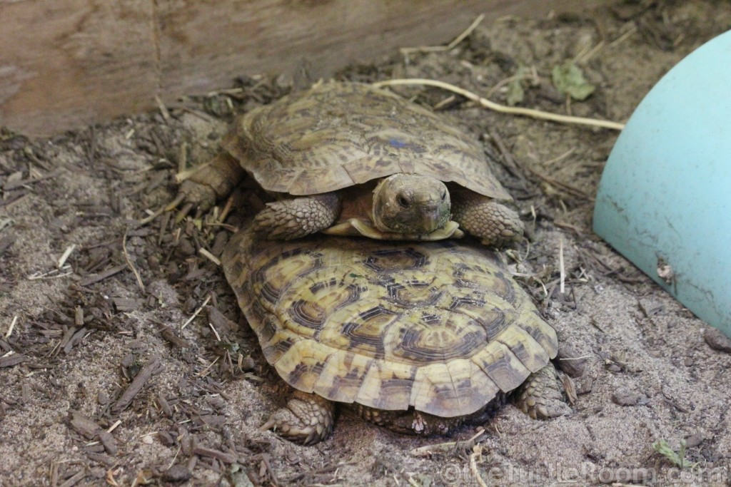 Adult Malacochersus tornieri (Pancake Tortoise) Pair