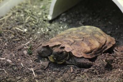 Adult Malacochersus tornieri (Pancake Tortoise)