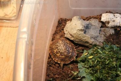 Hatchling Malacochersus tornieri (Pancake Tortoise)