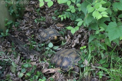 Adult Manouria impressa (Impressed Tortoise) Pair