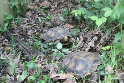 Adult Manouria impressa (Impressed Tortoise) Pair