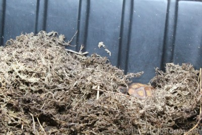 Hatchling Manouria impressa (Impressed Tortoise)