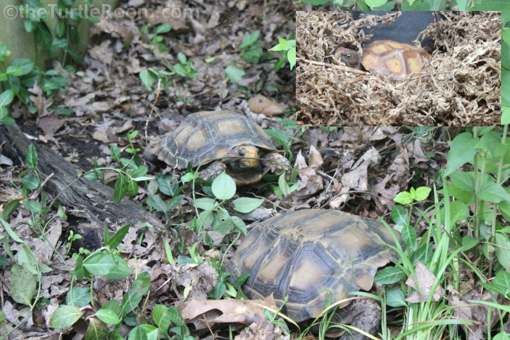 Hatchling Manouria impressa (Impressed Tortoise) and parents