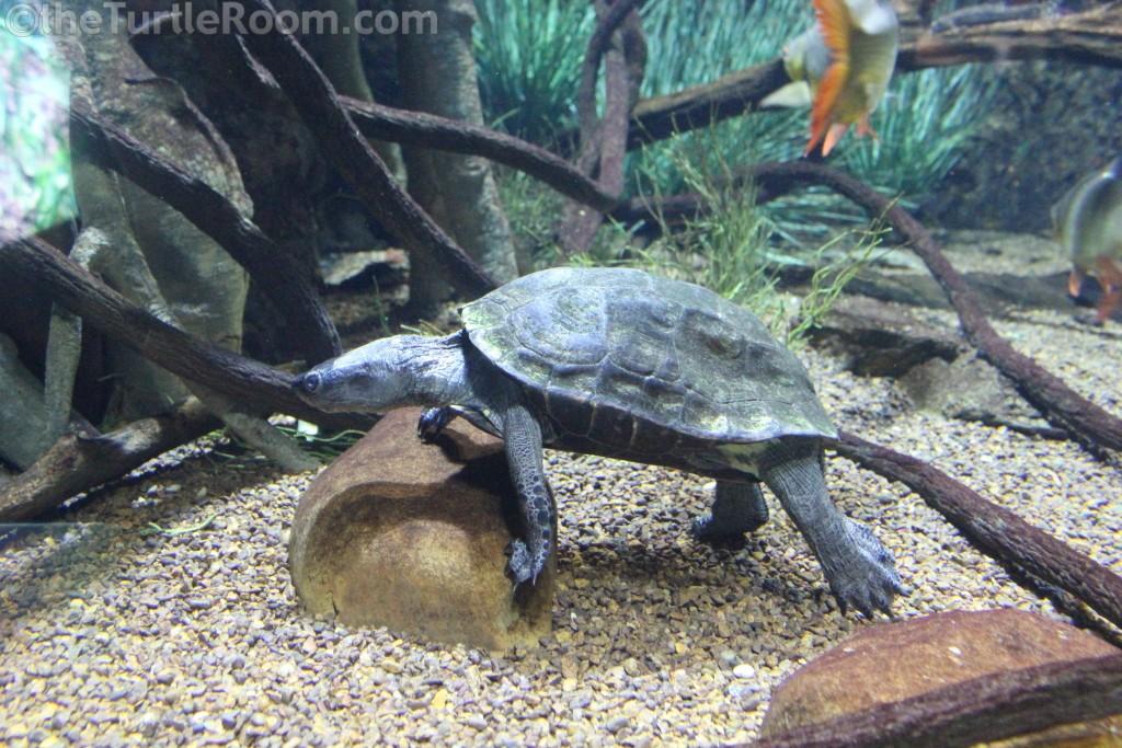 Mauremys nigricans (Red-Necked Pond Turtle) - Tennessee Aquarium