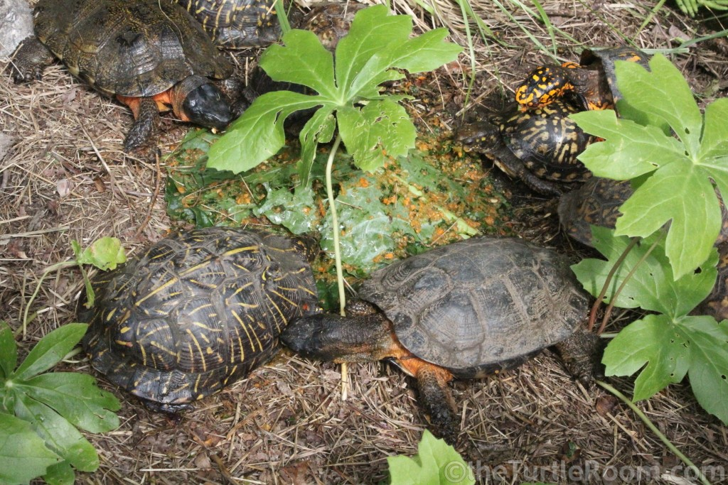 Glyptemys insculpta (North American Wood Turtle) & Terrapene carolina baurii (Florida Box Turtle) & Terrapene carolina carolina (Eastern Box Turtle)