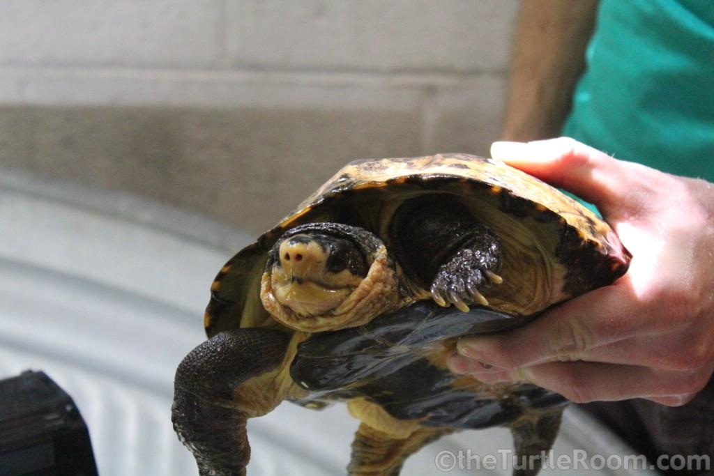 Adult Notochelys platynota (Malayan Flat-Shelled Turtle)