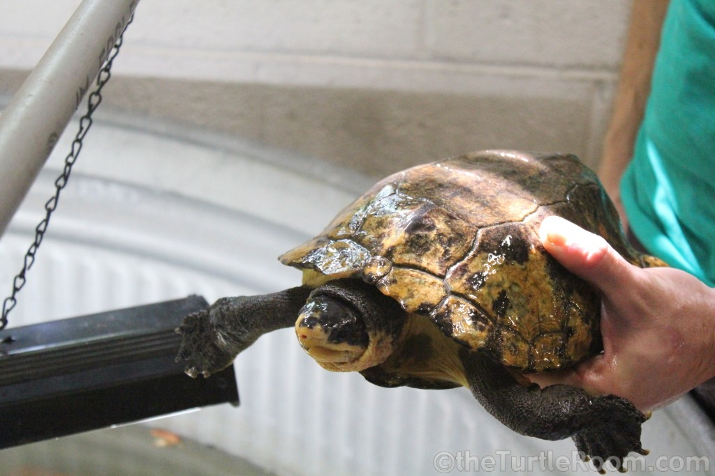Adult Male Notochelys platynota (Malayan Flat-Shelled Turtle)