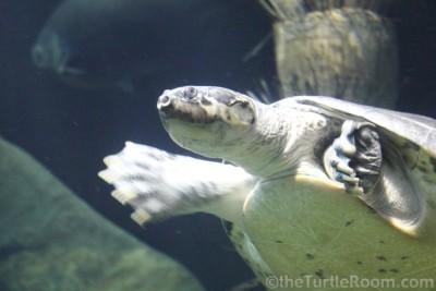 Podocnemis expansa (Giant Amazon River Turtle)