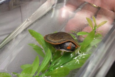 Hatchling Podocnemis erythrocephela (Red-Headed Amazon River Turtle)