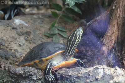 Adult Male Psuedemys nelsoni (Florida Red-Bellied Turtle)