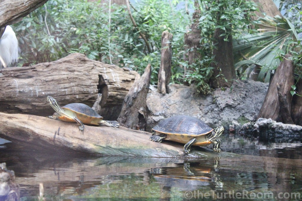 Adult Psuedemys nelsoni (Florida Red-Bellied Turtle) Pair