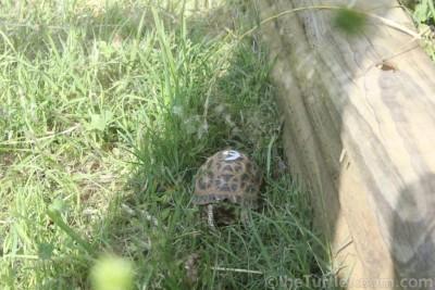 Adult Pyxis arachnoides arachnoides (Common Spider Tortoise) - Knoxville Zoo