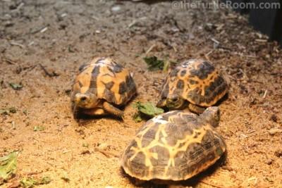 Juvenile Pyxis arachnoides arachnoides (Common Spider Tortoise) - Knoxville Zoo