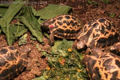 Juvenile Pyxis arachnoides brygooi (Northern Spider Tortoise) - Knoxville Zoo