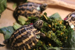 Hatchling Pyxis planicauda (Flat-Tailed Tortoise) - Knoxville Zoo