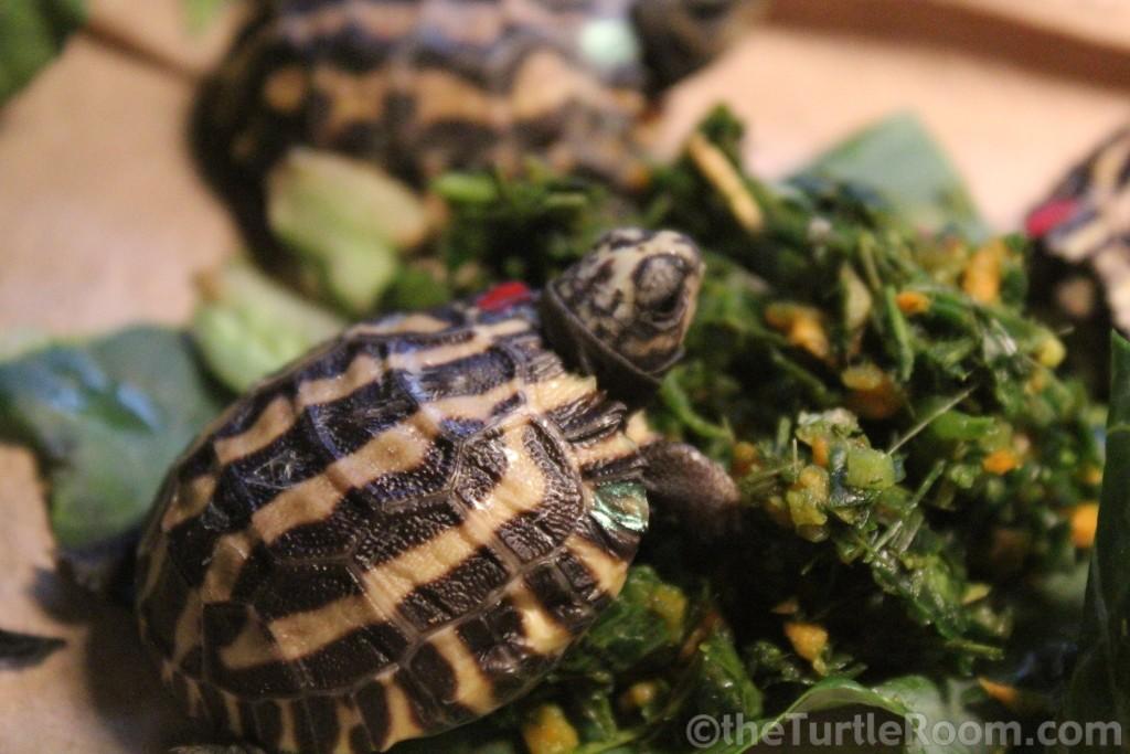2013 Hatchling Pyxis planicauda (Flat-Tailed Tortoise)
