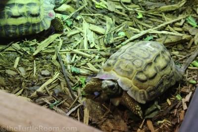 Adult Pyxis planicauda (Flat-Tailed Tortoise)