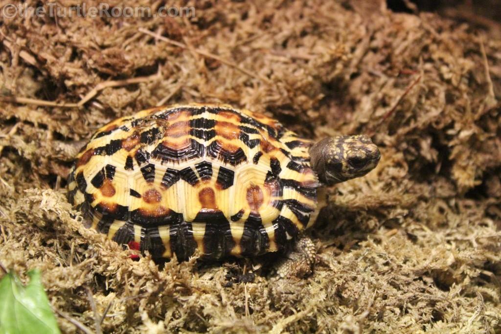Juvenile Pyxis planicauda (Flat-Tailed Tortoise)