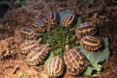 Juvenile Pyxis planicauda (Flat-Tailed Spider Tortoise) - Knoxville Zoo