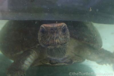 Sacalia quadriocellata (Four-Eyed Turtle)
