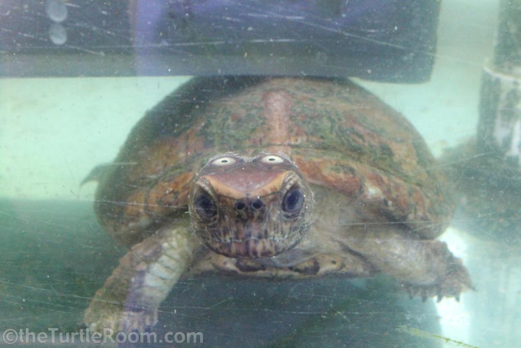 Juvenile Sacalia quadriocellata (Four-Eyed Turtle)
