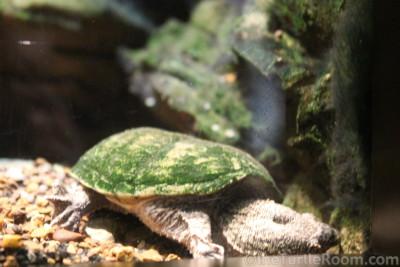 Sternotherus depressus (Flattened Musk Turtle)
