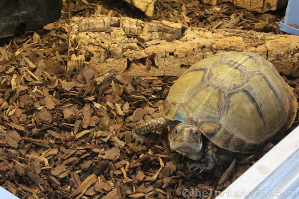 Terrapene carolina mexicana (Mexican Box Turtle)