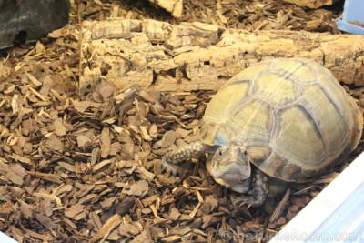 Adult Terrapene carolina mexicana (Mexican Box Turtle) - Tennessee Aquarium