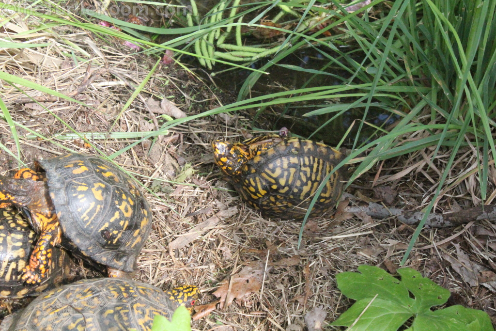 Terrapene carolina carolina (Eastern Box Turtle) Group