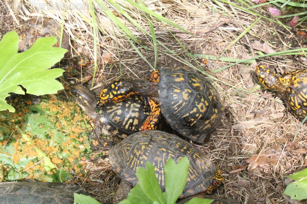 Terrapene carolina carolina (Eastern Box Turtle) Group