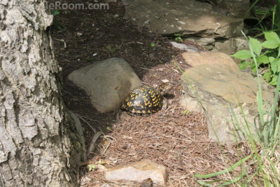 Terrapene carolina carolina (Eastern Box Turtle)