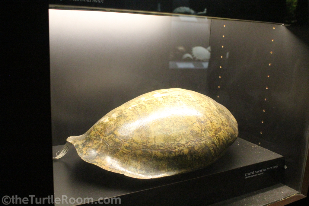 Preserved Dermatemys mawii (Central American River Turtle) Shell