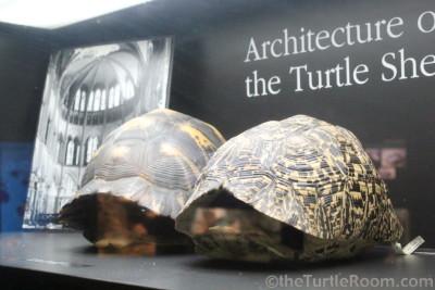 Preserved Astrochelys radiata (Radiated Tortoise) and Stigmochelys pardalis (Leopard Tortoise) Shells